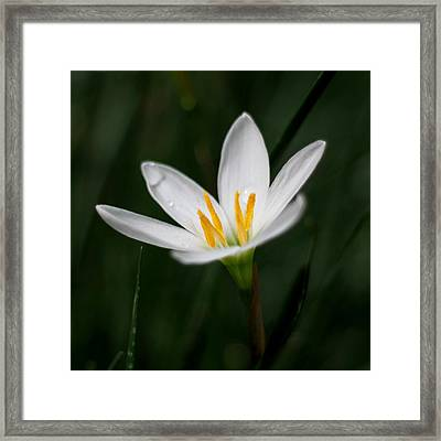 Pure White - Lily Framed Print