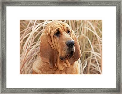 Purebred Bloodhound In Dried Grass Framed Print