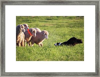 Purebred Border Collie Challenging Framed Print by Piperanne Worcester