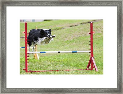 Purebred Border Collie Jumping Agility Framed Print by Piperanne Worcester