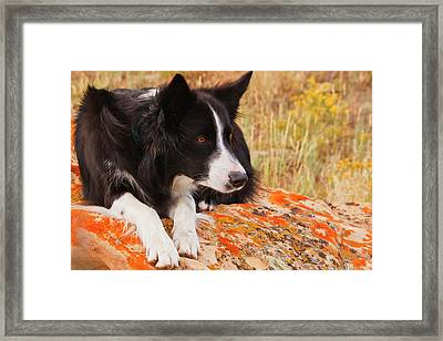 Purebred Border Collie Laying On Moss Framed Print by Piperanne Worcester