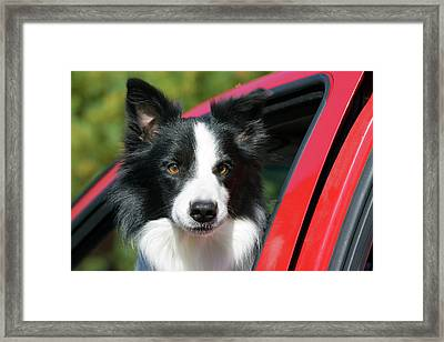 Purebred Border Collie Looking Out Red Framed Print by Piperanne Worcester