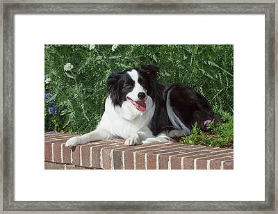 Purebred Border Collie Lying On Wall Framed Print by Piperanne Worcester