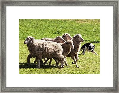 Purebred Border Collie Turning Sheep Framed Print