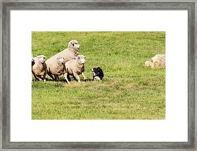 Purebred Border Collie Working Sheep Framed Print