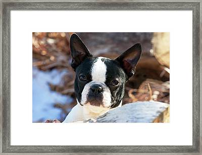 Purebred Boston Terrier Puppy Framed Print