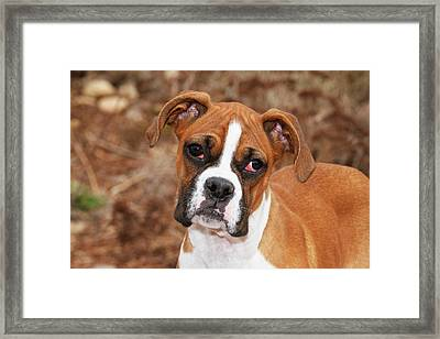 Purebred Boxer, Head And Back Framed Print by Piperanne Worcester