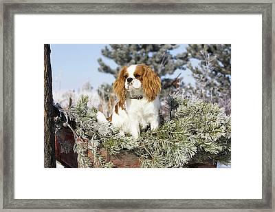 Purebred Cavalier King Charles Spaniel Framed Print by Piperanne Worcester