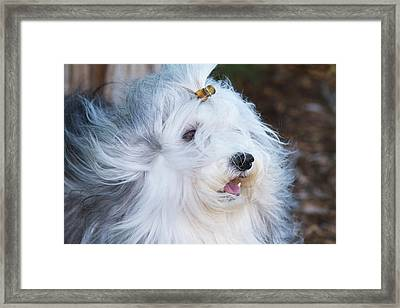 Purebred Havanese Coat Blowing Framed Print by Piperanne Worcester