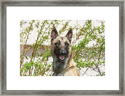 Purebred Malinois In Front Of Bushes Framed Print by Piperanne Worcester