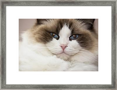 Purebred Rag Doll Cat, Blue Point Framed Print