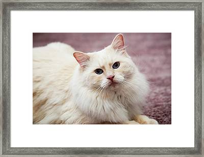 Purebred Rag Doll Cat, Flame Point Framed Print by Piperanne Worcester
