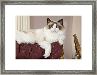 Purebred Rag Doll Cat Lounging Framed Print