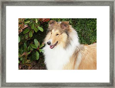 Purebred Rough Collie In Front Framed Print by Piperanne Worcester