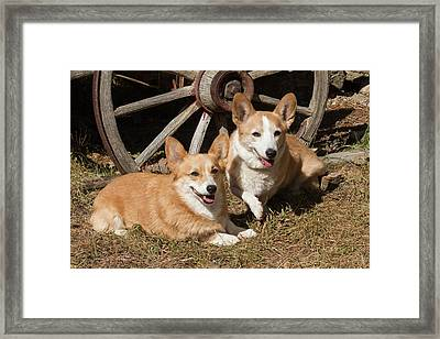 Purebred Welsh Corgi Next To Wagon Wheel Framed Print by Piperanne Worcester
