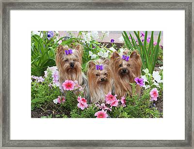 Purebred Yorkshire Terrier In Flowers Framed Print by Piperanne Worcester