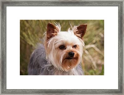 Purebred Yorkshire Terrier Framed Print