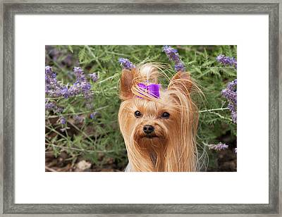 Purebred Yorkshire Terrier With Purple Framed Print by Piperanne Worcester