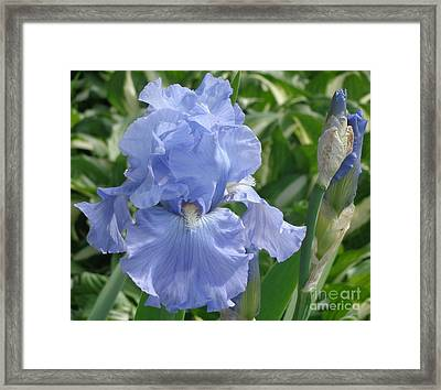 Purely Pretty Iris Framed Print