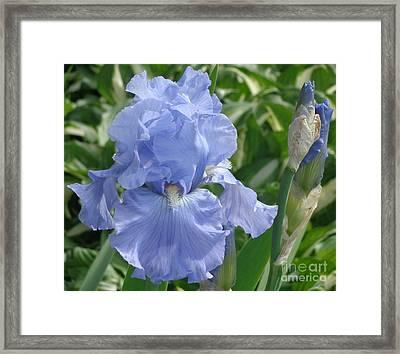 Purely Pretty Iris Framed Print by Christina Verdgeline