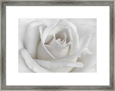 Purity Of A White Rose Flower Framed Print