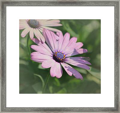 Purple African Daisy Framed Print by Kim Hojnacki
