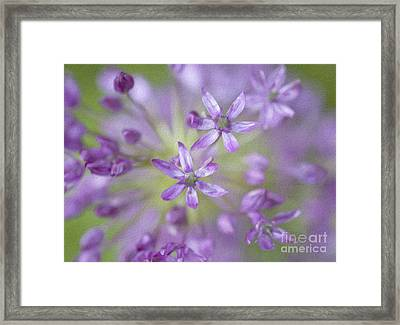 Purple Allium Flower Framed Print by Juli Scalzi