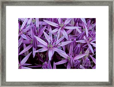 Purple Allium Framed Print