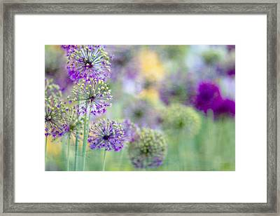 Purple Allium Framed Print by Rebecca Cozart