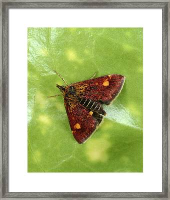 Purple And Gold Moth Framed Print by Nigel Downer