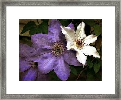 Purple And White Clematis Framed Print by Michelle Calkins