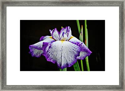 Purple And White Iris Framed Print by Linda Brown