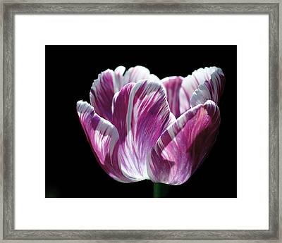Purple And White Marbled Tulip Framed Print by Rona Black