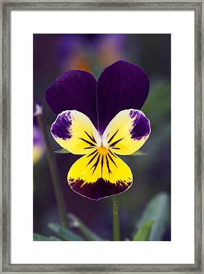 Purple And Yellow Johnny-jump-ups Framed Print