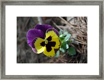 Framed Print featuring the photograph Purple And Yellow Pansy by Tara Potts