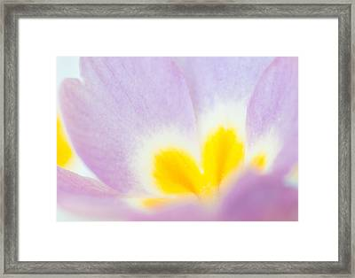 Purple And Yellow Primrose Petals - Bright And Soft Spring Flower Framed Print by Matthias Hauser