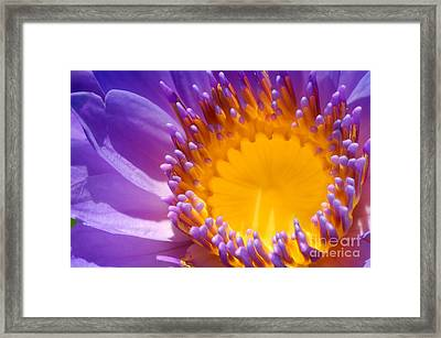 Purple And Yellow Water Lily Close Up Framed Print