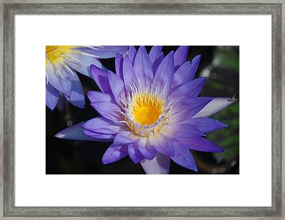 Purple And Yellow Water Lily Framed Print