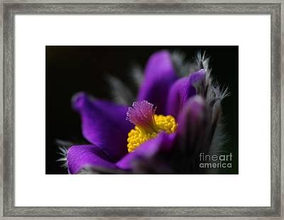 Purple Anemone - Anemone Framed Print by Dog Photos