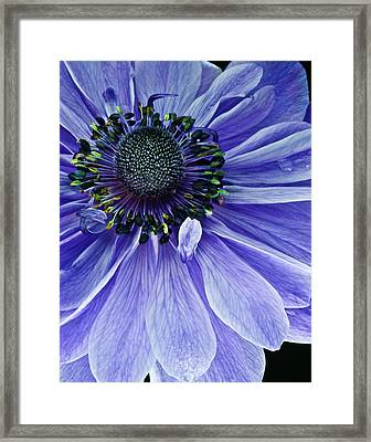 Purple Anemone Framed Print by Art Barker