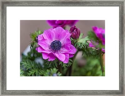 Purple Anemone. Flowers Of Holland Framed Print by Jenny Rainbow