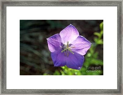Purple Balloon Flower In Bloom Framed Print by Kenny Glotfelty