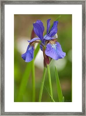 Purple Bearded Iris Framed Print by Brenda Jacobs