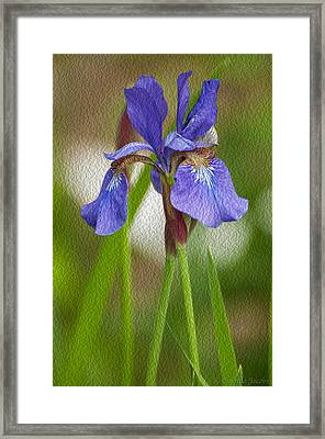 Purple Bearded Iris Oil Framed Print