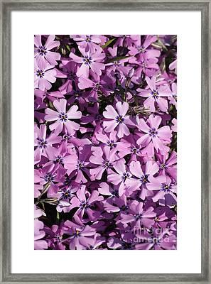 Purple Beauty Phlox Framed Print by Carol Groenen