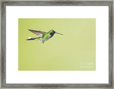 Purple-bibbed White-tip Hummingbird Framed Print