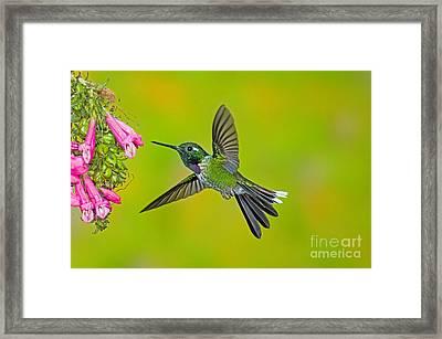 Purple-bibbed Whitetip Hummingbird Framed Print by Anthony Mercieca