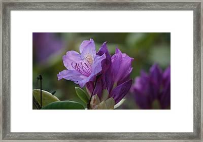 Purple Bloom Framed Print