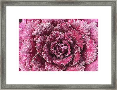 Purple Cabbage On A Frosty Morning Mill Framed Print by Stuart Westmorland
