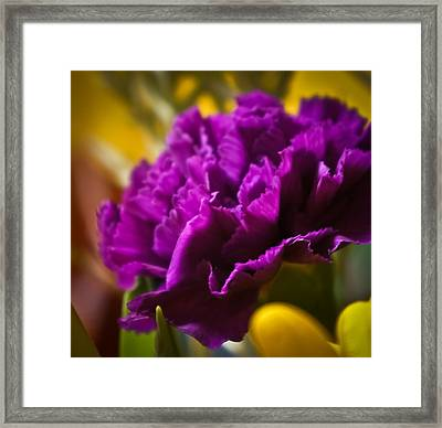 Purple Carnation Framed Print